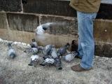 Кормление почти ручных голубей и наглых чаек на Карловом мосту.
